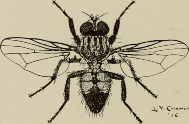 ithefly